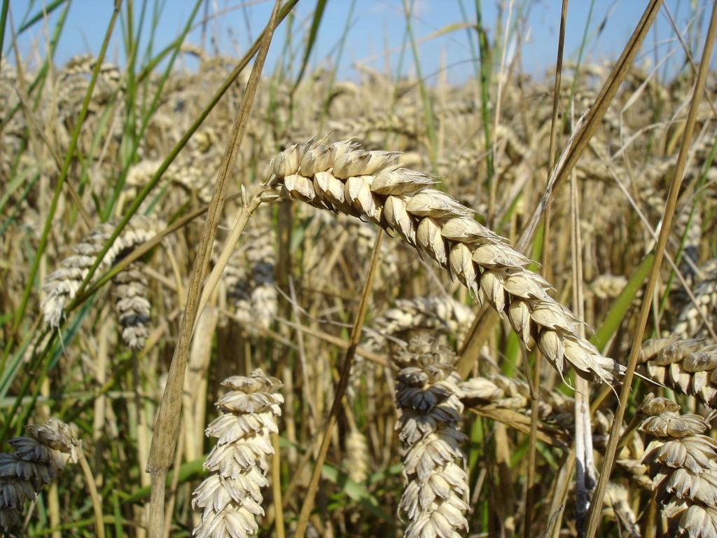 Wheat_close-up-1